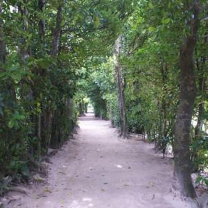 フクギテラス周辺のフクギ並木