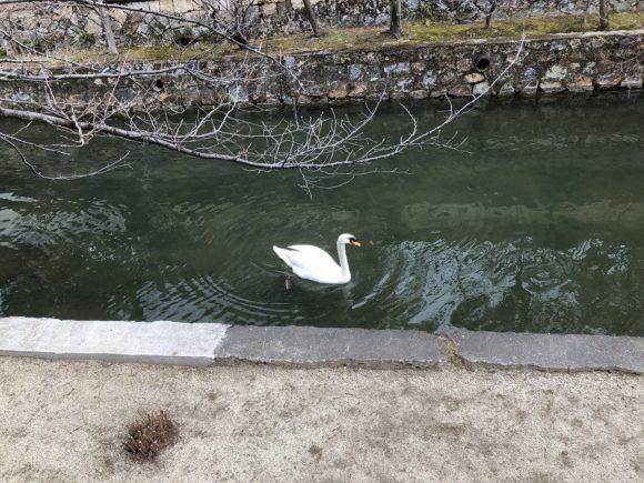 美観地区の白鳥